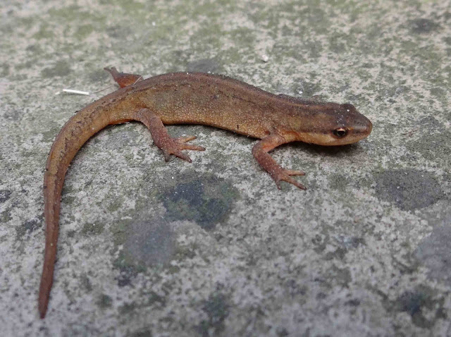 mud common-newt